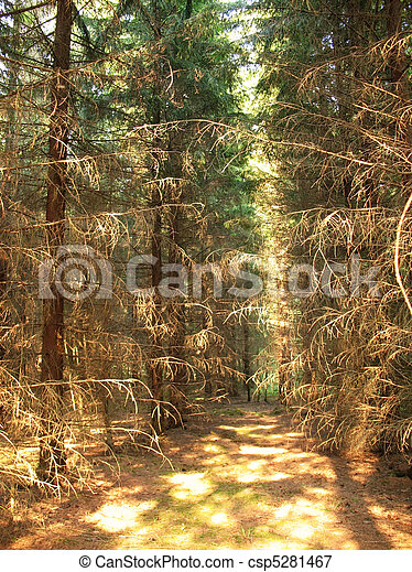 In the spruce forest on a sunny day - csp5281467