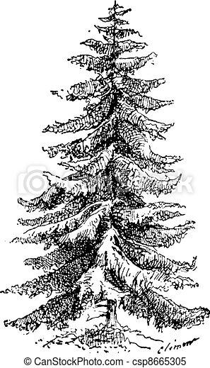 Incisione Abies Vendemmia Picea Abete Rosso Norvegia O Fleury
