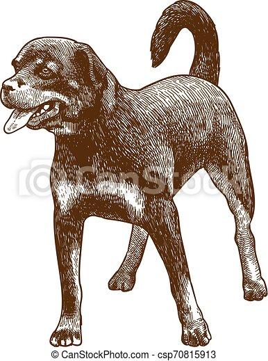 incisione, anticaglia, cane, illustrazione, rottweiler - csp70815913