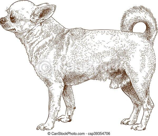 incisione, chihuahua, cane - csp39354706