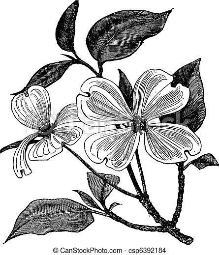 incisione, cornus, vendemmia, florida, dogwood, fioritura, o - csp6392184