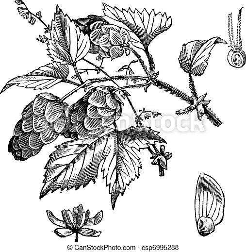 incisione, lupulus humulus, vendemmia, comune, luppolo, o - csp6995288
