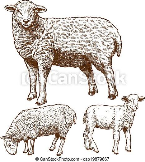 incisione, sheeps, vettore, tre - csp19879667