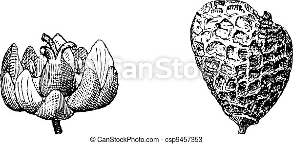 incisione, smoketree, cotinus, vendemmia, eurasian, rhus, o - csp9457353