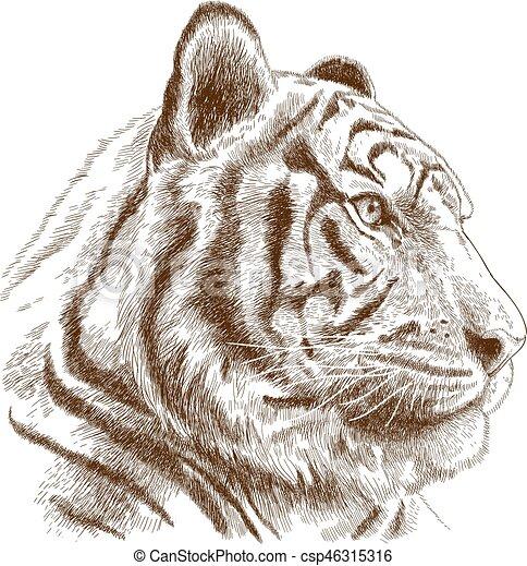 incisione, testa tigre, illustrazione - csp46315316