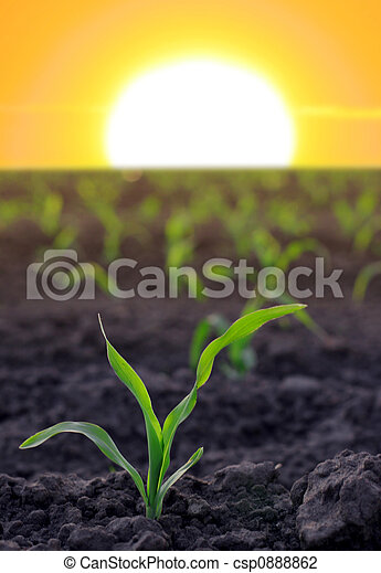 increasing corn on agricultural area - csp0888862