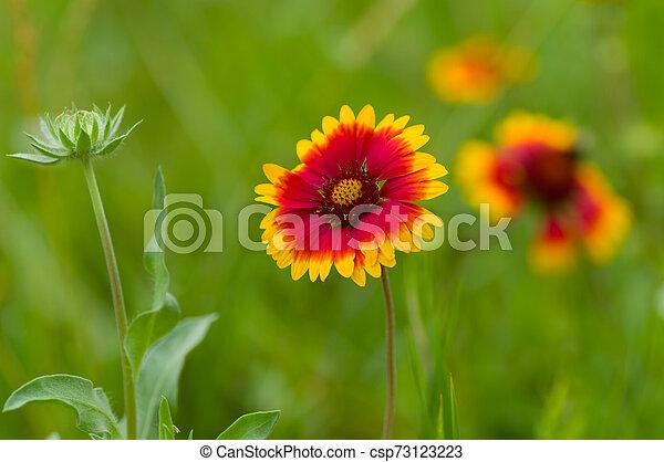 Indian blanket flower in the summer garden closeup - csp73123223
