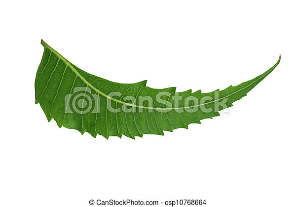 Indian Herbal / Medicinal Leaf - Neem - csp10768664