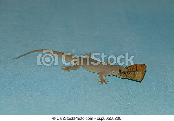 indian house lizard eat moth - csp86550200