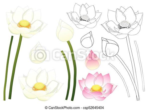Indian Lotus Outline Nelumbo Nucifera Indian Lotus