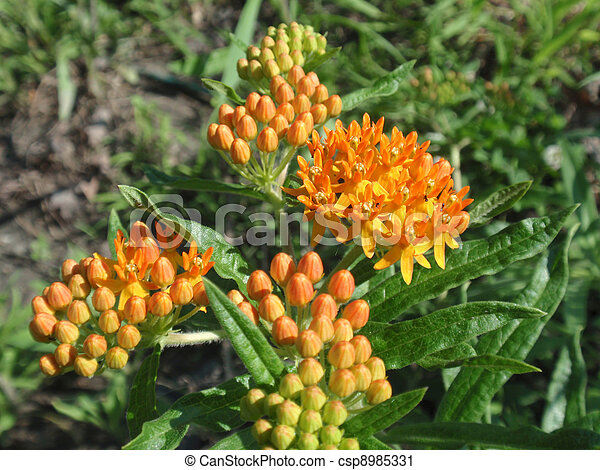 Indian Paintbrush (Butterfly weed) (Asclepias tuberosa) - csp8985331