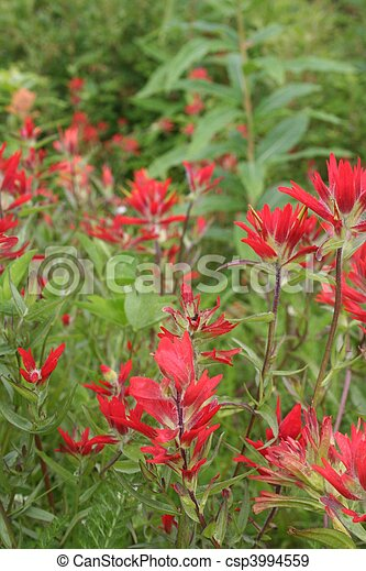 Indian Paintbrush Flowers - csp3994559