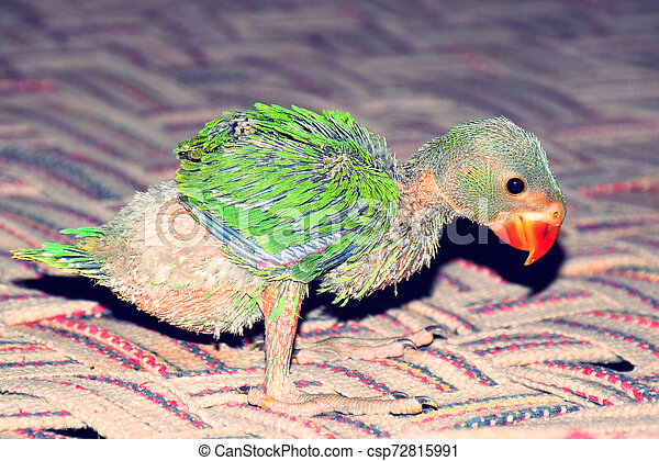 Indian Ringneck Baby Parrot