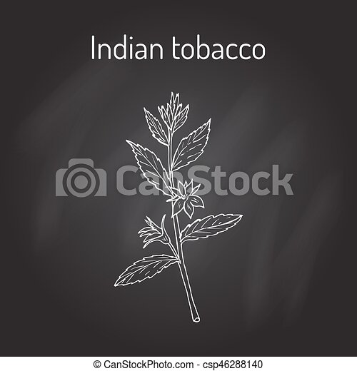Indian Tobacco Lobelia Inflata Or Asthma Weed Pukeweed Gagroot