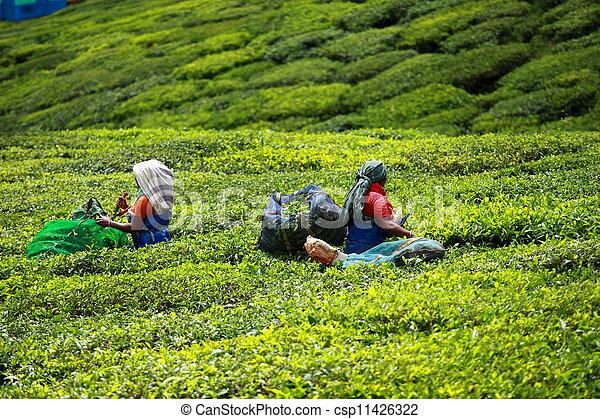 india's, femme, feuilles thé, munnar, capital, connu, cueillette, plantation, mieux - csp11426322