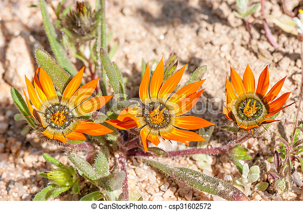 Indigenous flowers of the family Asteraceae  - csp31602572
