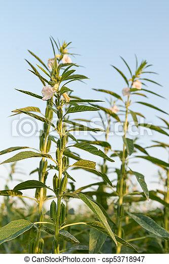 Prächtig Indischer sesam, pflanze, baum. Betriebe, indischer sesam #SD_78