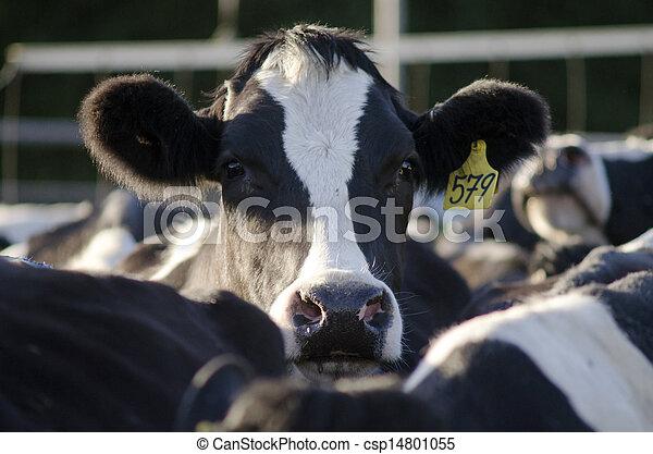 Industrias Dairy, instalaciones de ordeñación de vacas - csp14801055