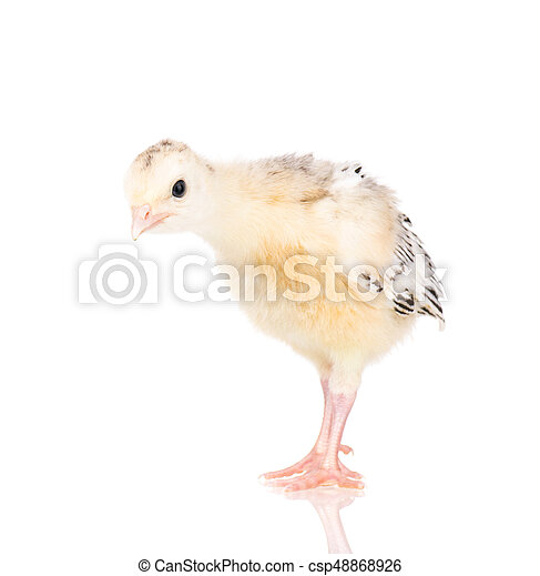 Indyk Maly Kurczak