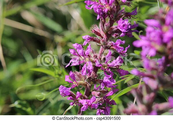 Inflorescence of a Lythrum salicaria (purple loosestrife) plant - csp43091500