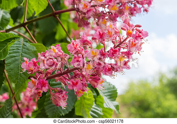 Inflorescence of red horse chestnut tree closeup on a background of inflorescence of red horse chestnut tree closeup csp56021178 mightylinksfo