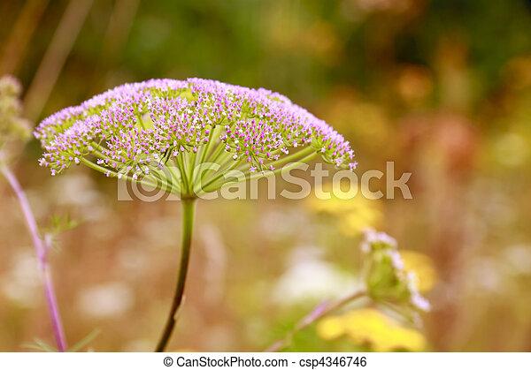 Inflorescence (umbel) of plant from family umbelliferae ...
