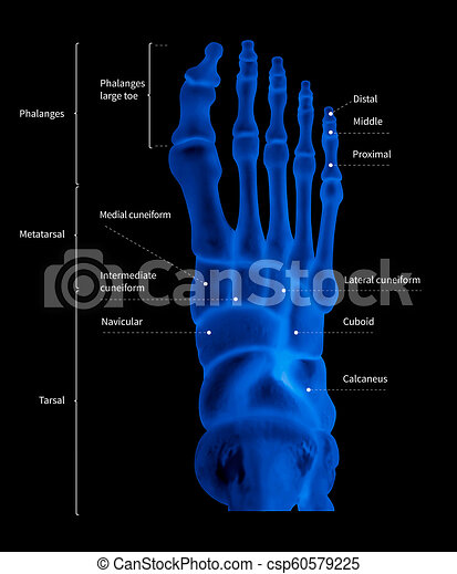 Infographic diagram of human foot bone anatomy system anterior view- 3D-  medical illustration- human anatomy- medical diagram- educational concept-