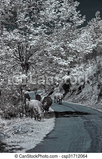Infrared cows grazing - csp31712064