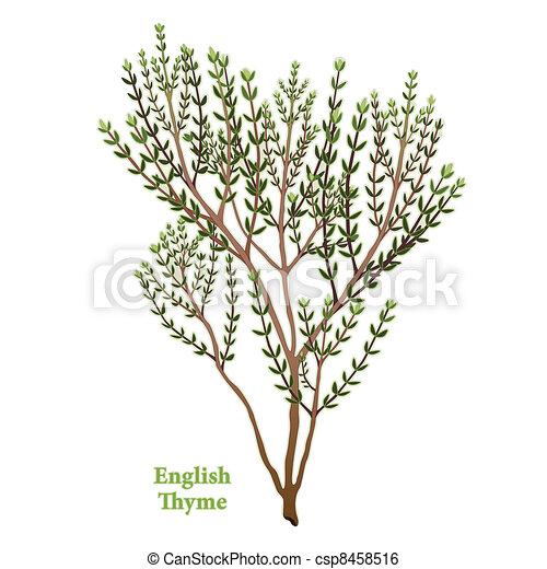 inglese, erba, timo - csp8458516