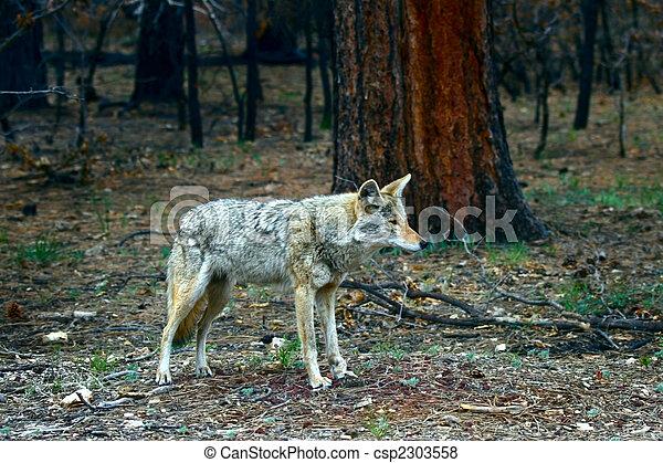 Injured Coyote Bitch - csp2303558