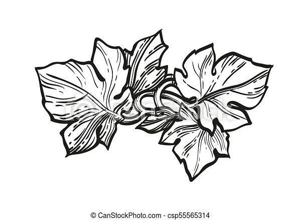 Ink Sketch Of Grape Leaves Hand Drawn Vector Illustration Of Grape Leaves Ink Sketch Isolated On White Background Retro Canstock
