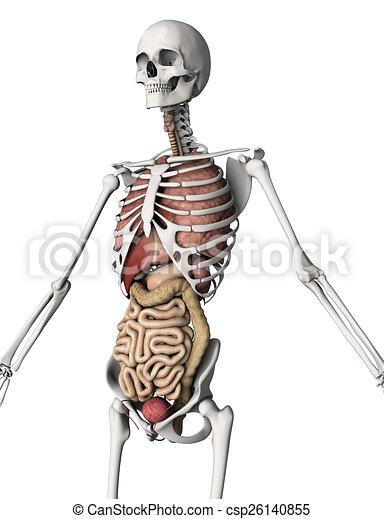 Innere organe, skelett, 3d. Innere organe, skelett, render, 3d.