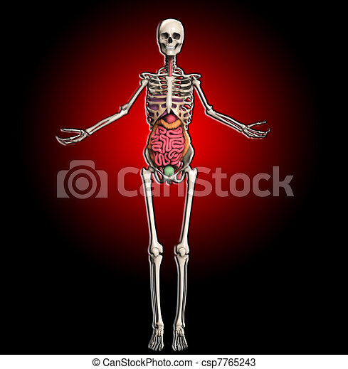 Innere organe, skelett. Organe, intern, einschließlich, skelett, guts.