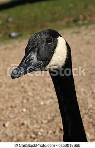 Inquisitive goose - csp0013668