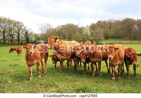 Inquisitive Limousin Calves - csp4127655