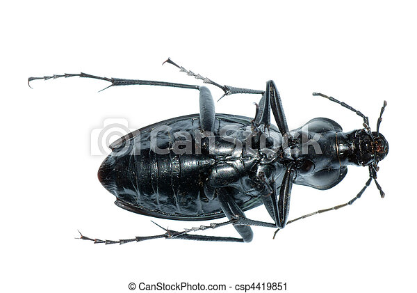 insect ground beetle bug - csp4419851
