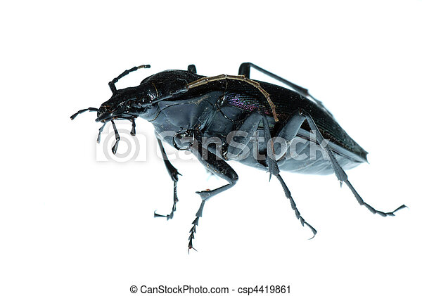 insect ground beetle bug - csp4419861