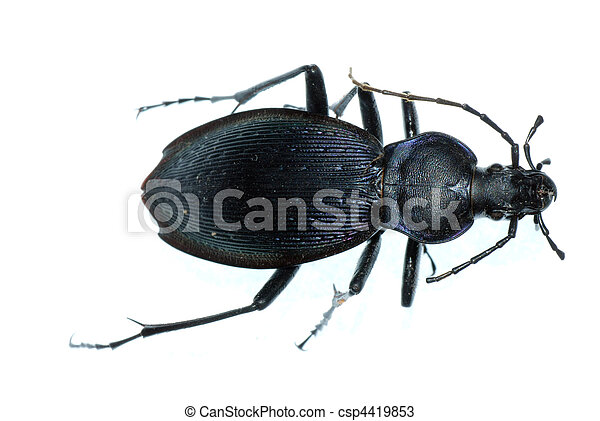 insect ground beetle bug - csp4419853