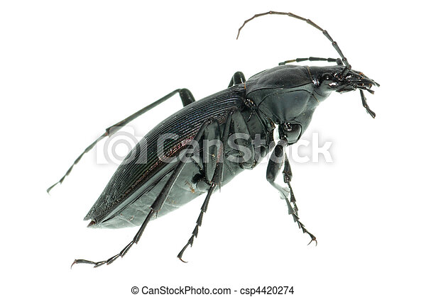 insect ground beetle - csp4420274