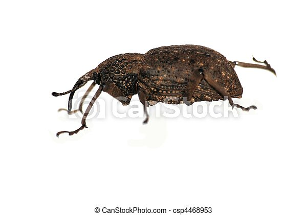 insect snout beetle  - csp4468953