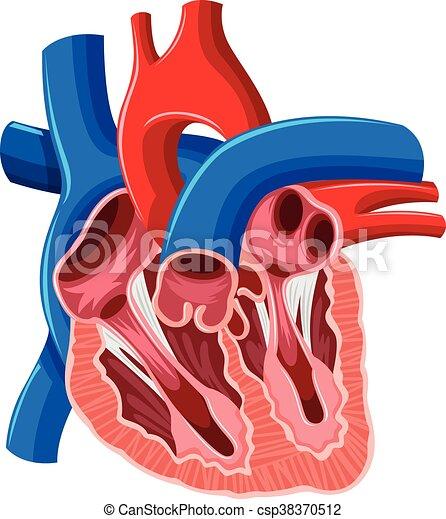 Inside diagram of human heart illustration.