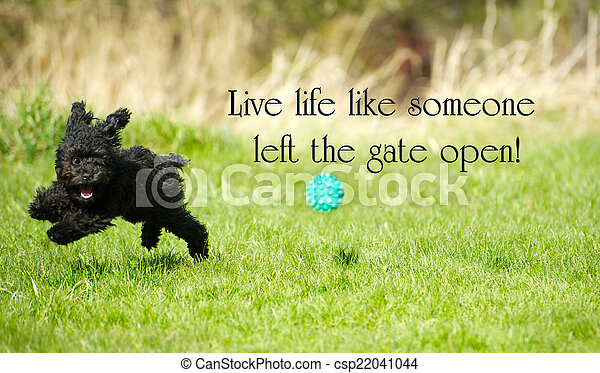 "Inspirational words ""Live life like someone left the gate open"" with an adorable toy poodle enjoying life to the fullest, happily ripping around in the summer.  - csp22041044"