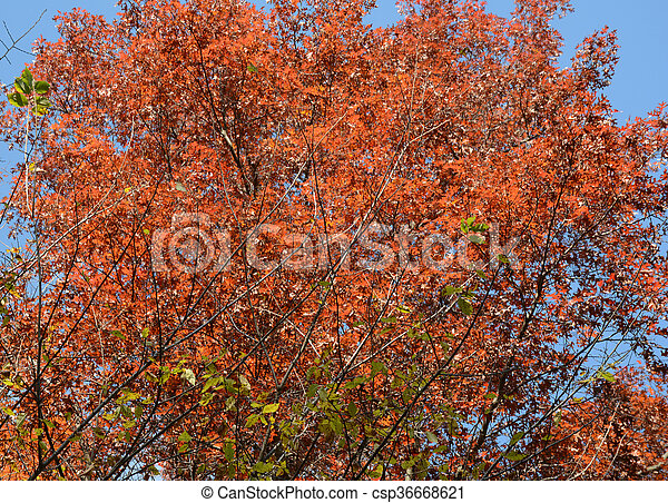 intensité, chêne, rouges - csp36668621