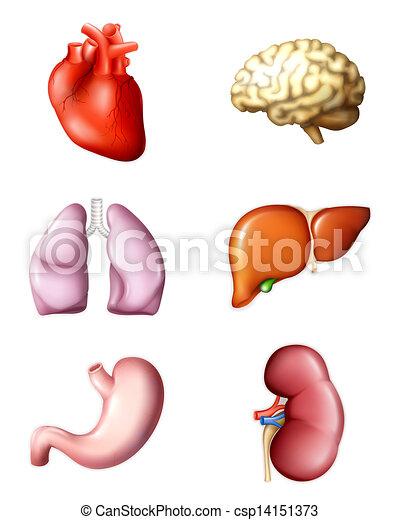 Internal Human Organs Eps10