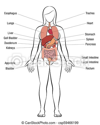 Picture of internal organs woman