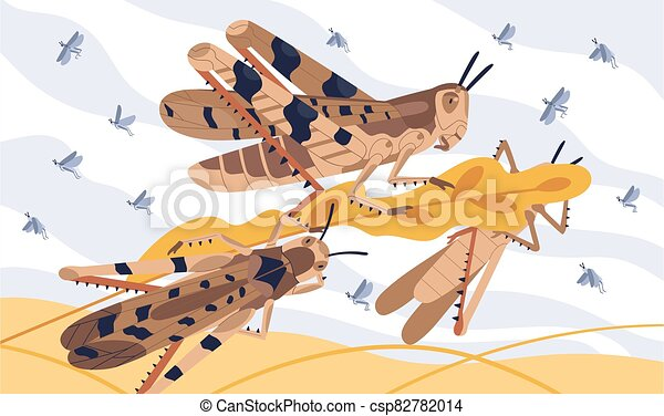 Invasion pest of rice seed vector illustration. Large herbivorous insects attack on field or meadow. Swarm of locusts on agricultural plants. Grasshoppers parasite natural devastation of herb - csp82782014