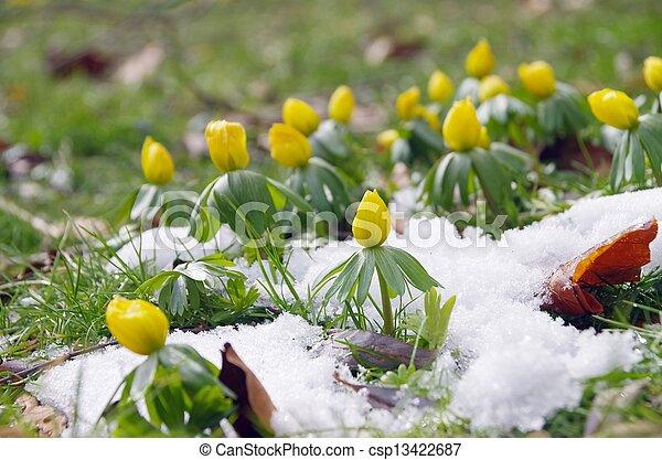 inverno, aconite, 07 - csp13422687