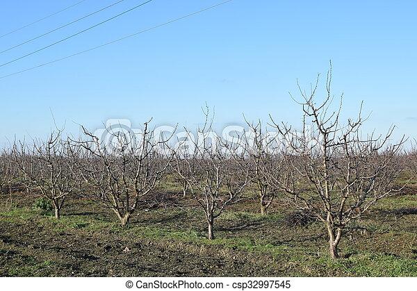 inverno, pomar, jovem - csp32997545