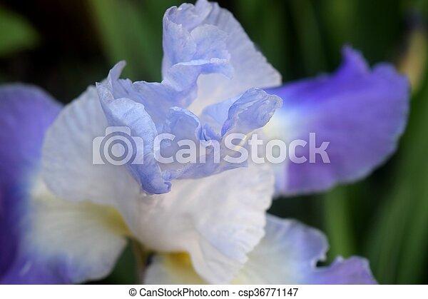 Iris - csp36771147
