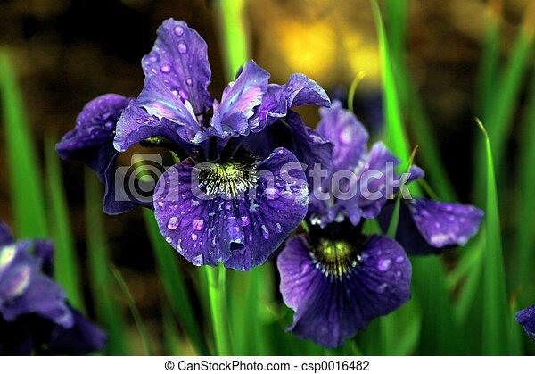 iris, impressions - csp0016482